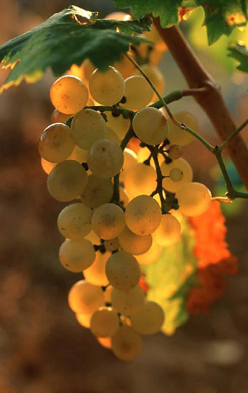 White grape for White wine
